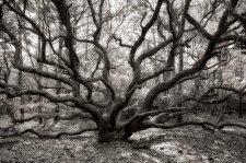 """""""Live Oak"""" © Earl Mills"""