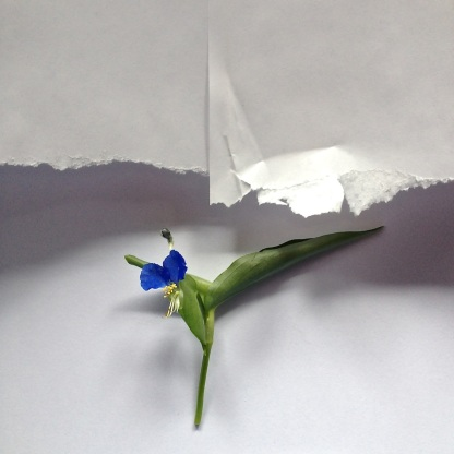 """""""Dayflower - It Blooms But a Morning"""" by Gary Bergel"""