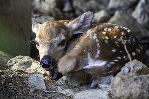 """Baby Deer"" photo by Rip Smith"